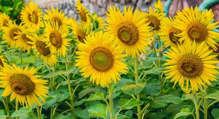 flower of sunflower blooming in the garden