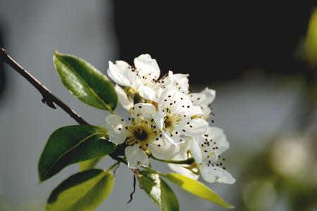 whitem: birne bloom                         Stock Photo