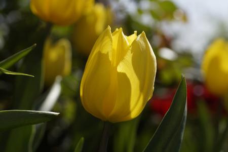 gele tulp aan de Pasen te vieren