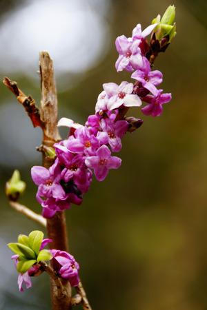 dafne: fioritura Daphne ai margini di un bosco Archivio Fotografico
