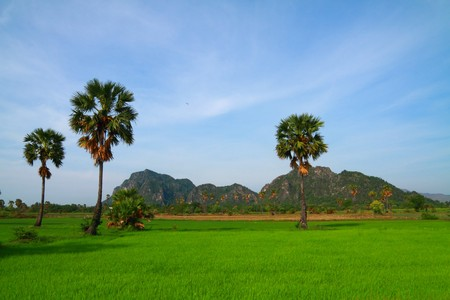 This picture contain green rice field with palm trees and the big mountain.  photo
