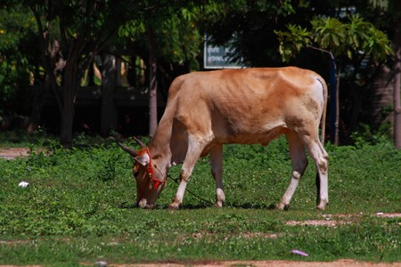 A Thai native grazing cow in green filed