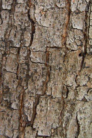 Faded old wood bark with cracks texture aged by time and weather. Stock Photo - 7480037