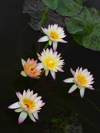 color of Lotus Flowers On Water photo
