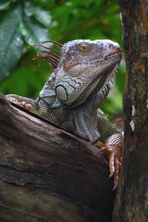 Portrait of an iguana on the tree.