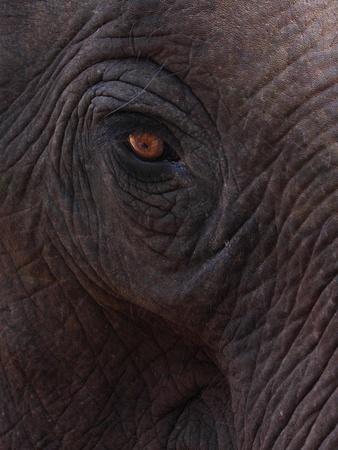 close up of Asia Elephants eye  photo