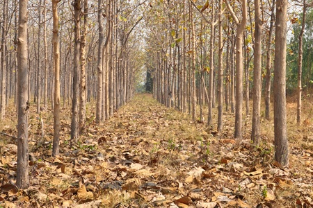 dry Teak trees at agricultural forest in winter.  photo