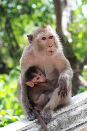 breastmilk: Mother monkey feeding her baby. Stock Photo