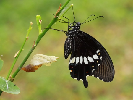 A newly transformed Papilionidae Butterfly (Red Helen; Papilio helenus). Stock Photo