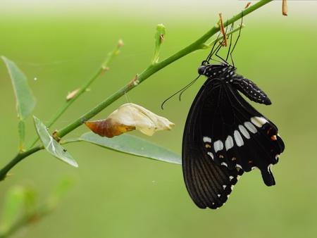 metamorfosis: Un reci�n transformado Papilionidae mariposa (Red Helen; Papilio Heleno).