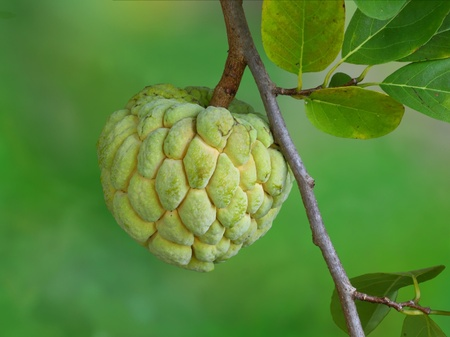 custard apple fruit: Fresh custard apple growing on tree.