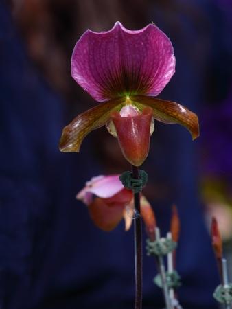 lady's slipper: ladys slipper magenta orchid Paphiopedilum