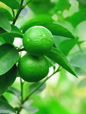 fresh green lemon on tree photo