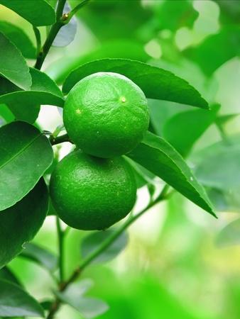 fresh green lemon on tree photo