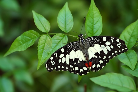 papilio demoleus: Papilio demoleus, the Common Lime Butterfly, is a common and widespread Swallowtail butterfly.  Stock Photo