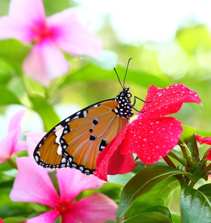 Common Tiger (Danaus genutia) is one of the common butterflies of Asia. Stock Photo - 11935206
