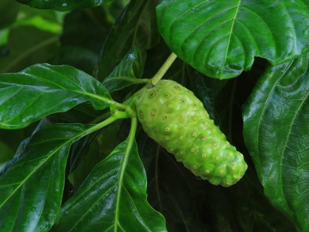 Noni fruit on tree in organic farm photo
