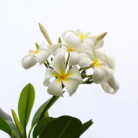 group of white frangipani flowers on white background