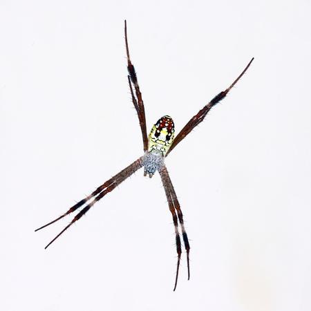 Big cross spider over white background. photo