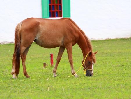 brown horse feeding in the vintage farm  photo