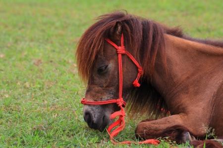 closeup shot of Dwarf horse grazing in the pasture  photo