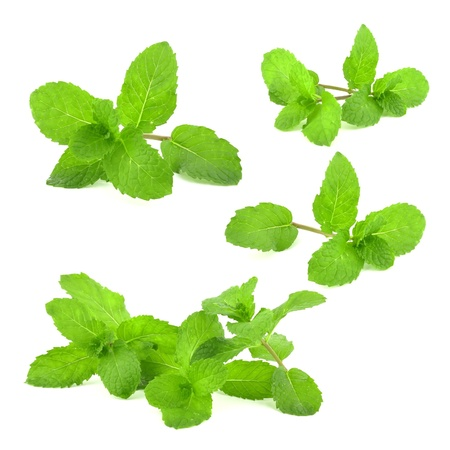 collection of Fresh mint leaf on white background  photo