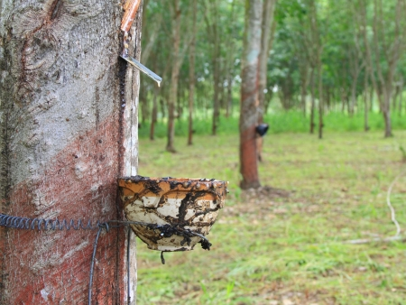 caoutchouc: Latex being collected from a tapped rubber tree