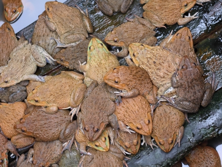 group of frogs in farm  photo