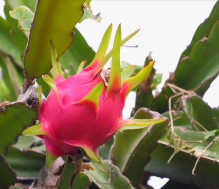 dragon fruit on tree in organic farm