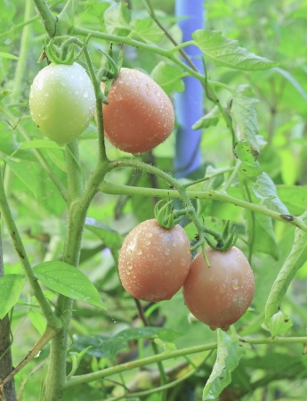 fresh tomatoes grow on twigs  fresh organic tomatoes on a vegetable bed into the garden  photo