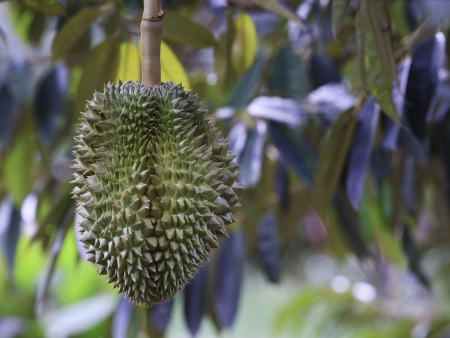 Durian on tree in the garden, Thailand. Durian is king of fruit. photo