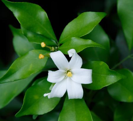 jessamine: Orange Jessamine flowers (Satin-wood,Cosmetic Bark Tree),tropical flower. Archivio Fotografico