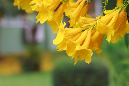 Silver trumpet tree, ,Paraguayan silver trumpet tree ,Yellow flowers against background of green leaves of the tree.