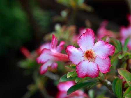mock azalea: Desert Rose-Impala Lily- Mock Azalea. Stock Photo