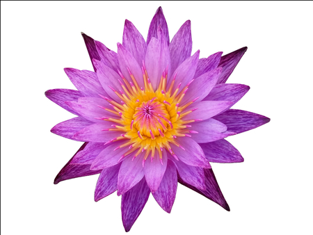 A purple water lily isolated on white background. Stock Photo