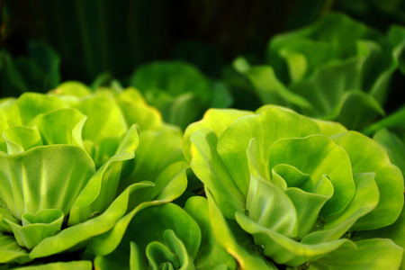 freshwater aquarium plants: water lettuce close up Stock Photo
