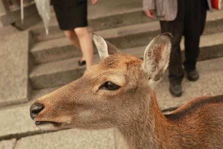 familiar: deer familiar to people in Todai-ji temple, nara, japan