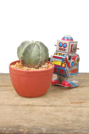 tin robot: Cactus Astrophytum Myriostigma in red pot with tin robot toy take care, vintage, retro theme  on wooden floor, white background Stock Photo