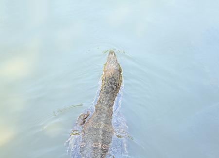 dragon swim: Lizard, Water monitor or Varanus Salvator float, swim on the water, top view