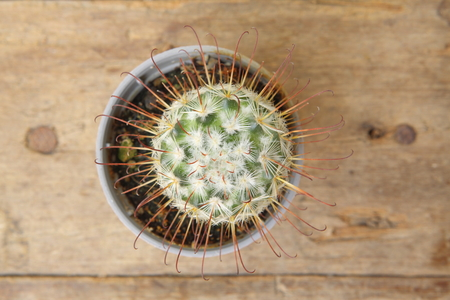 Top view of cactus Mammillaria Bombycina in grey pot on wooden plank 版權商用圖片