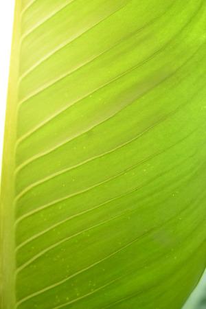 Dieffenbachia Big leaves green