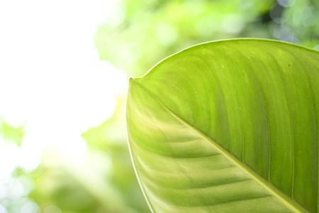 Dieffenbachia End of leaf green