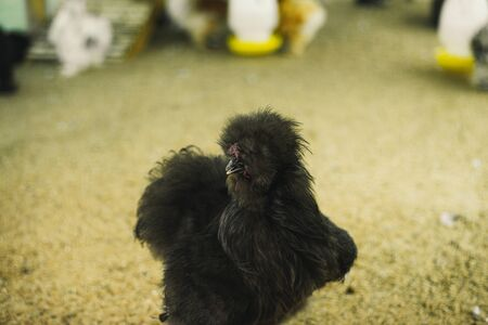 Silky chicken is black in the house.