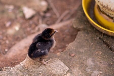 Chicks that are away from hens