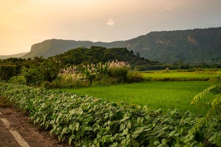 The rice fields that are lit by the sun in the evening