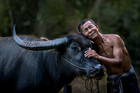 thailand culture: The bond between farmer and his buffalo.