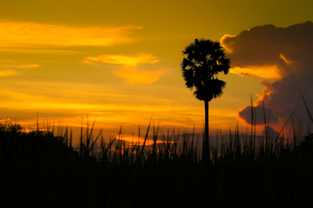 sugar palm: silhouette sugar palm on sunset Stock Photo
