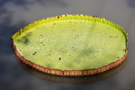victoria lotus leaf photo