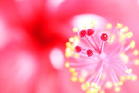 Hibiscus flower pollen,Hibiscus flowers. photo
