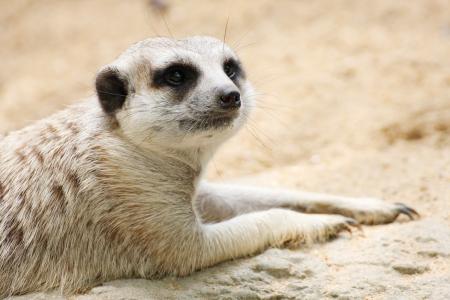 meerkat: meerkat in the zoo